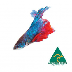Assorted Betta - 6cm - Live Fish