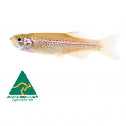Assorted Danio - 3.5cm - Live Fish