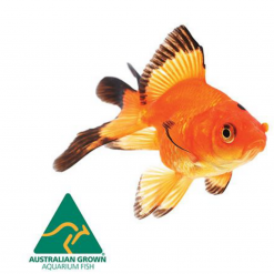 Assorted Fantail - 5cm - Live Fish