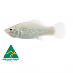 Assorted Molly - 5cm - Live Fish