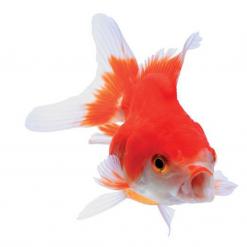 Assorted Oranda - 5cm - Live Fish