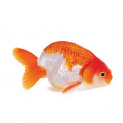 Assorted Ranchu Goldfish - 5cm - Live Fish