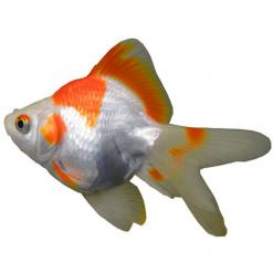 Assorted Ryukin - 12cm - Live Fish