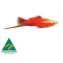 Assorted Swordtails - 4.5cm - Live Fish