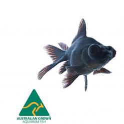 Black Moor - 5cm - Live Fish