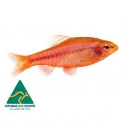 Cherry Barb - 3cm - Live Fish
