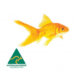 Goldfish - Live