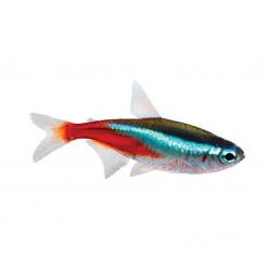 Neon Tetra - 2.5cm - Live Fish