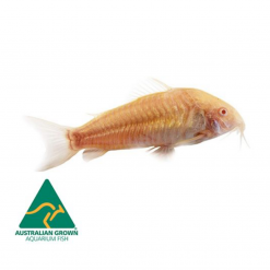 Albino Corydora Catfish - 3.5cm - Live Fish