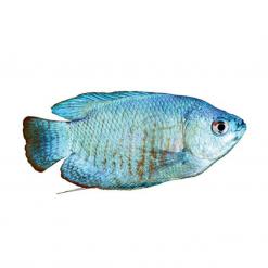 Assorted Dwarf Gourami - 5cm - Live Fish