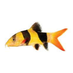 Clown Loach - 5-7cm - Live Fish