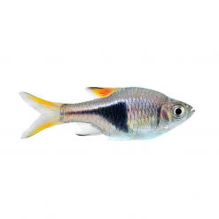 Harlequin Rasbora - 2.5cm - Live Fish