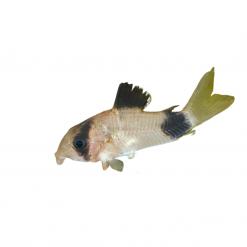 Panda Corydora Catfish - 2.5cm - Live Fish