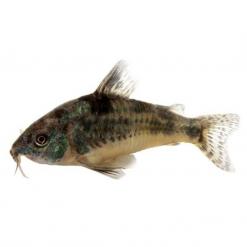 Peppered Corydora Catfish - 3.5cm - Live Fish
