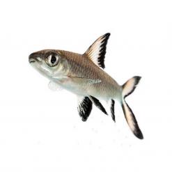Silver Shark - 5cm-7cm - Live Fish