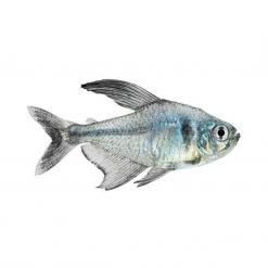 Black Phantom Tetra - 3cm - Live Fish