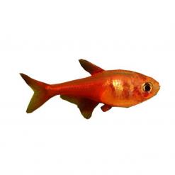 Flame Tetra - 3cm - Live Fish