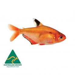 Serpae Tetra - 3cm - Live Fish