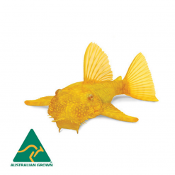 Albino Bristlenose Catfish - 3cm - Live Fish