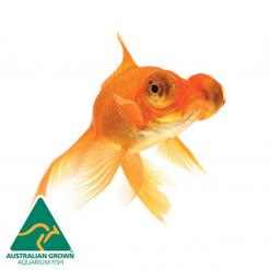 Assorted Telescope Eyes Goldfish - 5cm - Live Fish