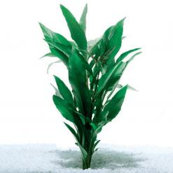 Blue Stricta Live Plant