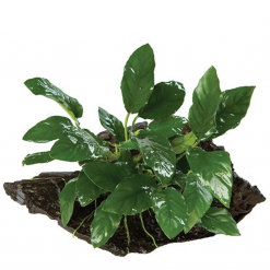 Driftwood Anubius Plant