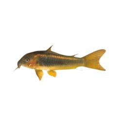 Gold Striped Corydora Catfish - 3cm - Live Fish