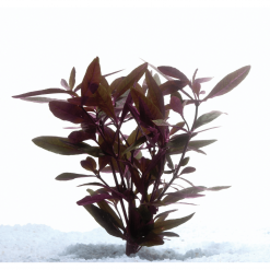 Mauve Stricta Live Plant