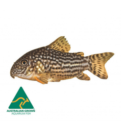 Sterbai Corydora Catfish - 3.5cm - Live Fish