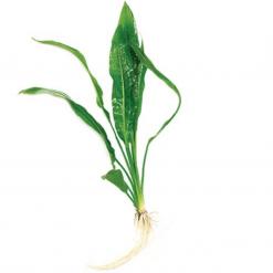 Amazon Sword Small Live Plant