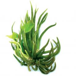 Banana Lillies Live Plant