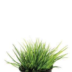 Dwarf Goldrush Live Plant