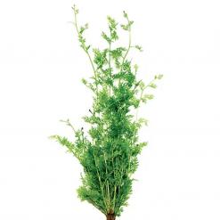 Lace Fern Live Plant