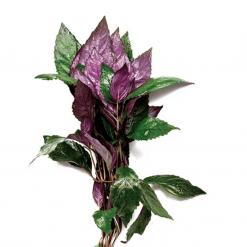 Purple Temple Live Plant