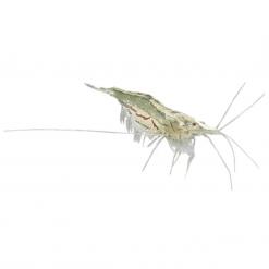 1-2cm Glass Shrimp