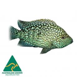 4.5cm Super Green Texas Cichlid