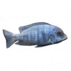 5cm Blue Moori