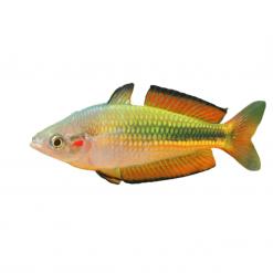 5cm Crimson Spot Rainbow Fish