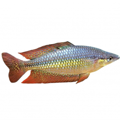 5cm Eastern Rainbow Fish