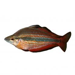 5cm Goyder River Rainbow Fish