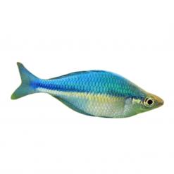 5cm Lacustris Rainbow Fish