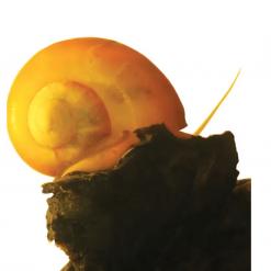 Mystery Snail Jumbo