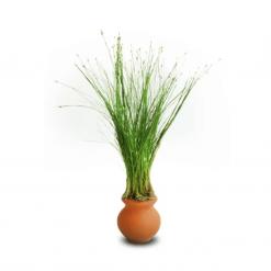 Dwarf Hairgrass in Urn