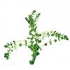 Rotala Rotudifolia